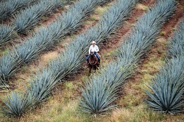 tequila-history-farm
